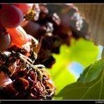 Las últimas uvas de otoño