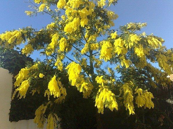 Que bonitas estan las Mimosas en primavera