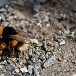 La abeja madre