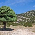 El árbol que absorbe la vitalidad del suelo