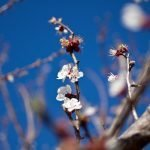 Albaricoquero (Prunus armeniaca) visto a 1.8