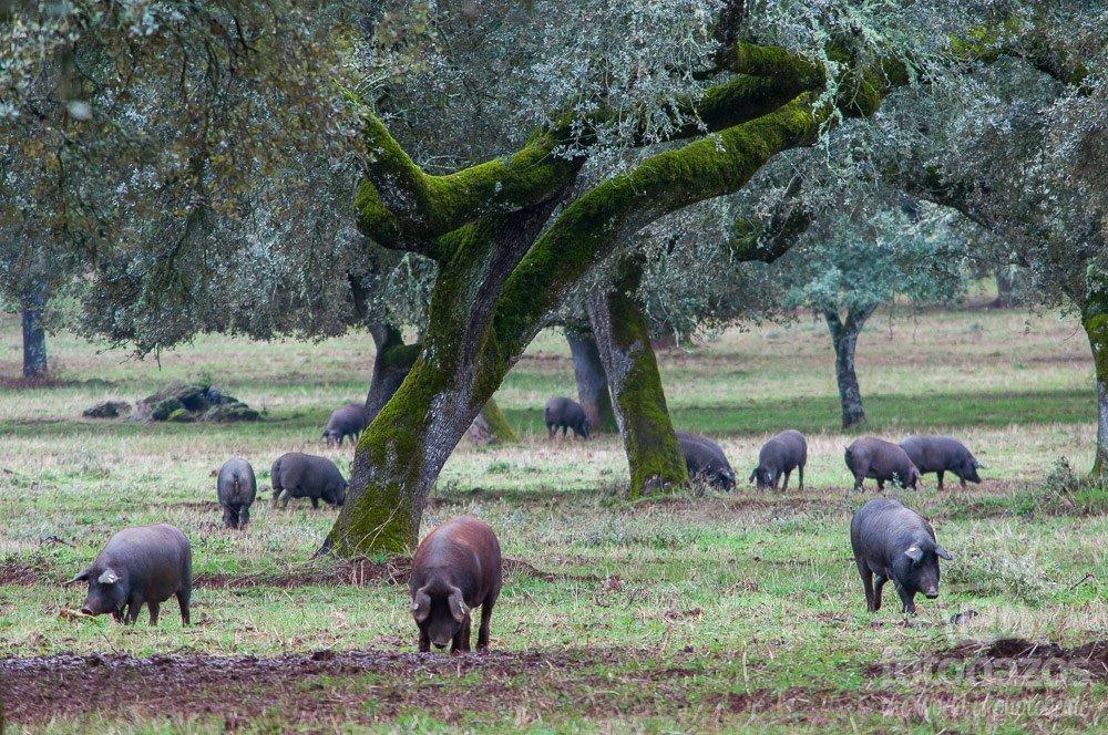 La dehesa y el jamón ibérico de Fregenal de la Sierra