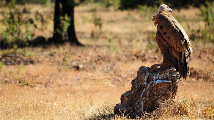 Observación de buitres desde un hide o refugio fotográfico en Extremadura